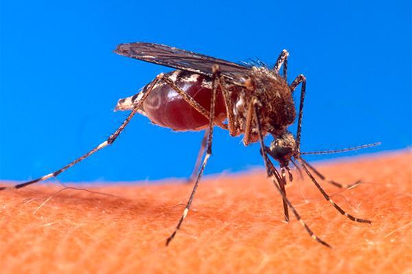 una combinacin farmacolgica trata con eficacia la artritis causada por el chikungua en ratones