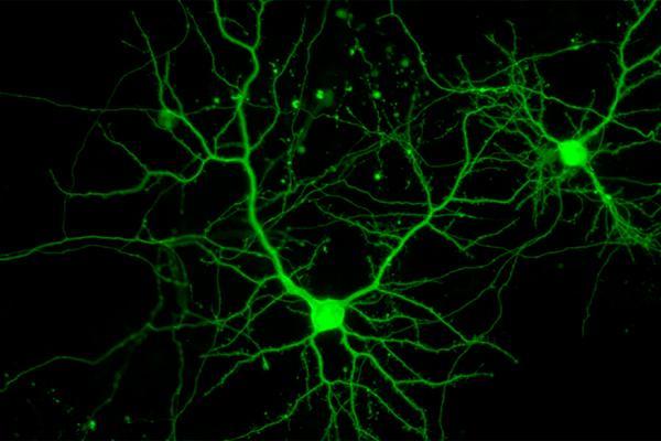 la molcula neuregulina3 controla la distribucin de las neuronas inhibidoras en el cerebro