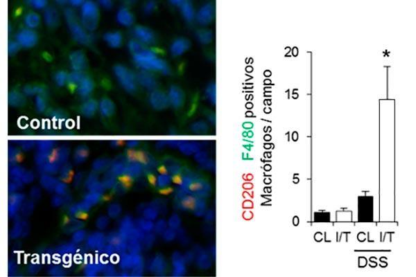 las mitocondrias indican al intestino como defenderse de la inflamacion