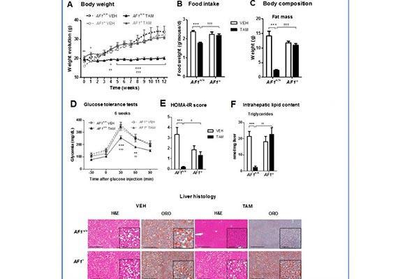 el tamoxifen protege frente de los desordenes metabolicos relacionados con la obesidad