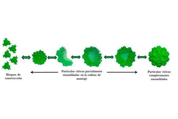 la flexibilidad mecanica de los virus favoreceria su ensamblaje espontaneo