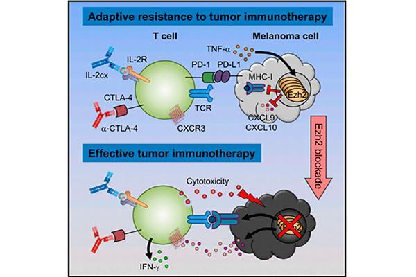 un nuevo mecanismo explica la resistencia adaptativa del melanoma a la inmunoterapia