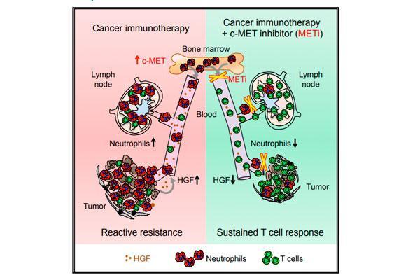 identifican el mecanismo que limita la eficacia de la inmunoterapia del cncer
