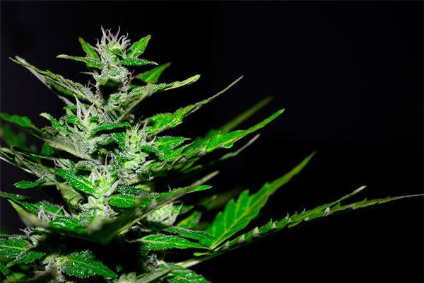 la omc pide que el uso terapeutico del cannabis este avalado por la evidencia cientifica