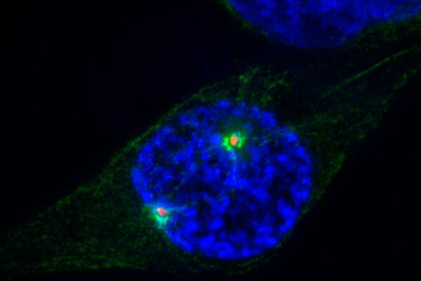 la enzima nek9 controla las fases iniciales de la division celular