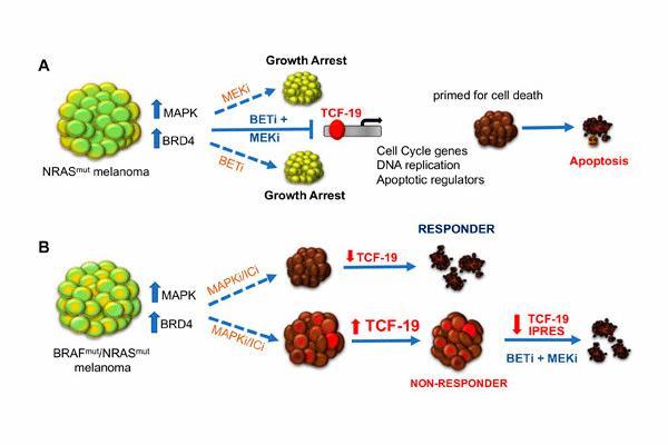 nueva combinacion terapeutica para el melanoma resistente