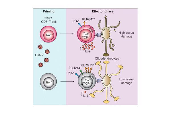 descubierto el programa transcripcional que dirige los linfocitos t autoreactivos a destruir el tejido nervioso