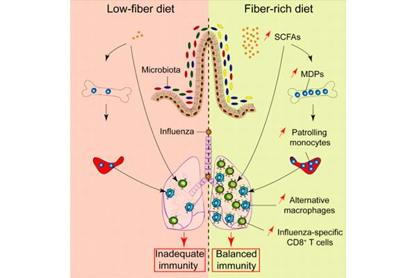 una dieta rica en fibra protege frente a la gripe
