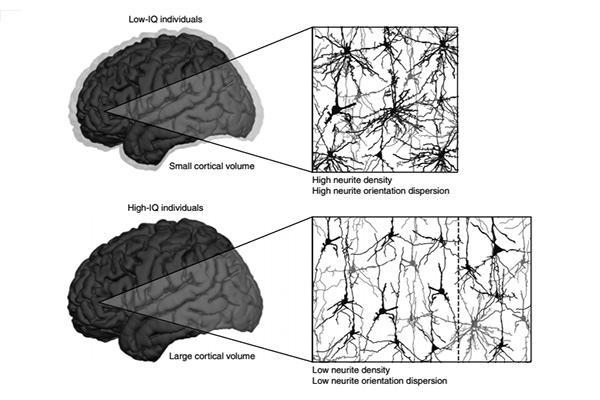 la disminucion de las ramificaciones dendriticas es caracteristica de una mayor inteligencia
