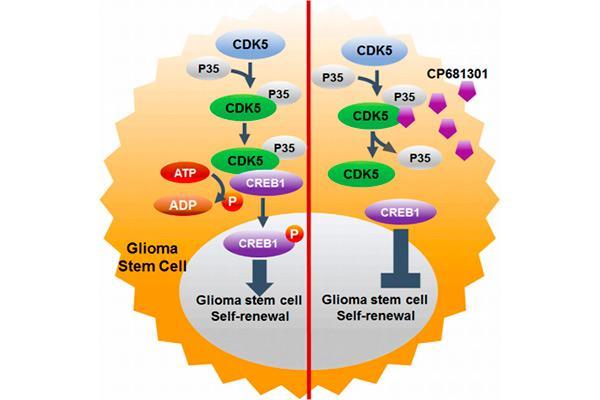 nueva potencial diana terapeutica frente a las celulas madre tumorales del glioma