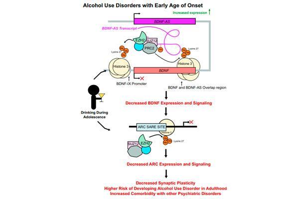 un arn no codificante media el efecto deletereo a largo plazo del alcohol en la adolescencia