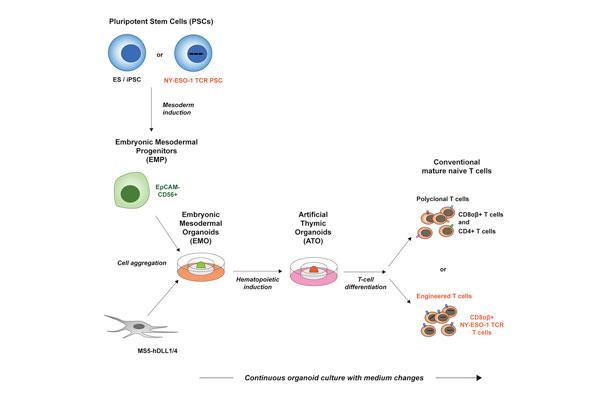 los-linfocitos-t-derivados-de-celulas-madre-ofrecen-potencial-frente