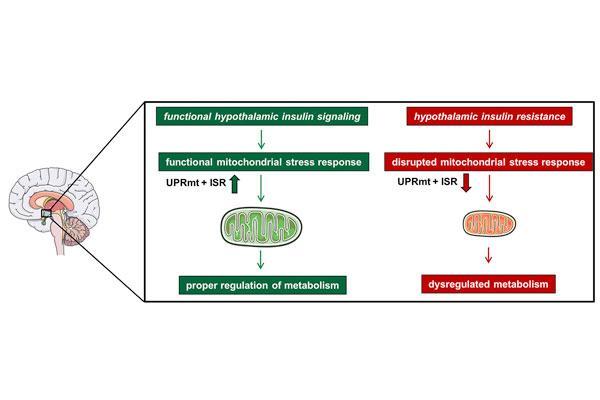 la insulina regula un mecanismo de proteccion cerebral
