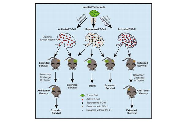 la-neutralizacion-de-los-exosomas-tumorales-podria-mejorar-la-inmuno
