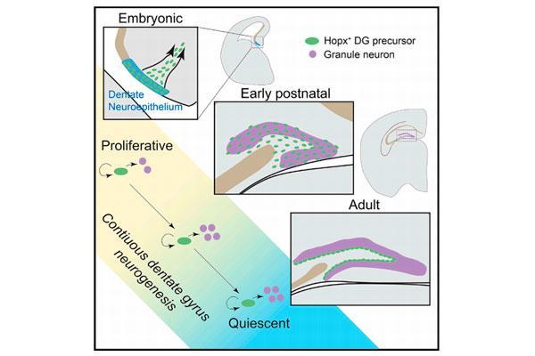 una-unica-poblacion-de-celulas-madre-es-responsable-de-la-neurogenesis-adulta