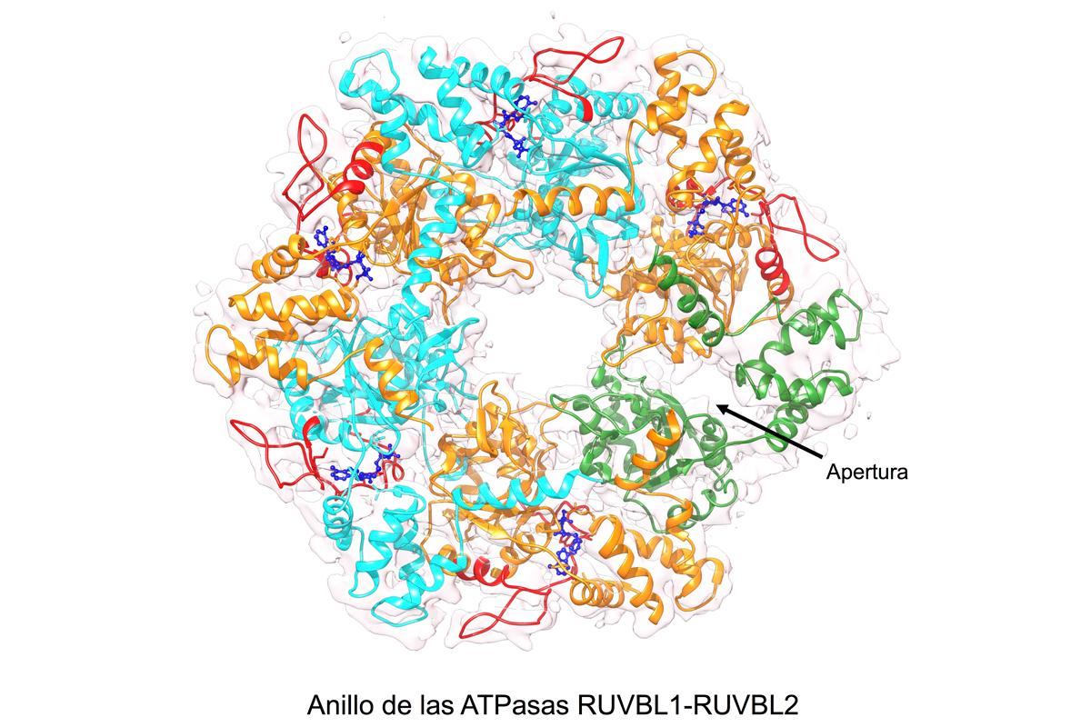 el-cnio-describe-el-mecanismo-de-una-proteina-crucial-para-los-proces