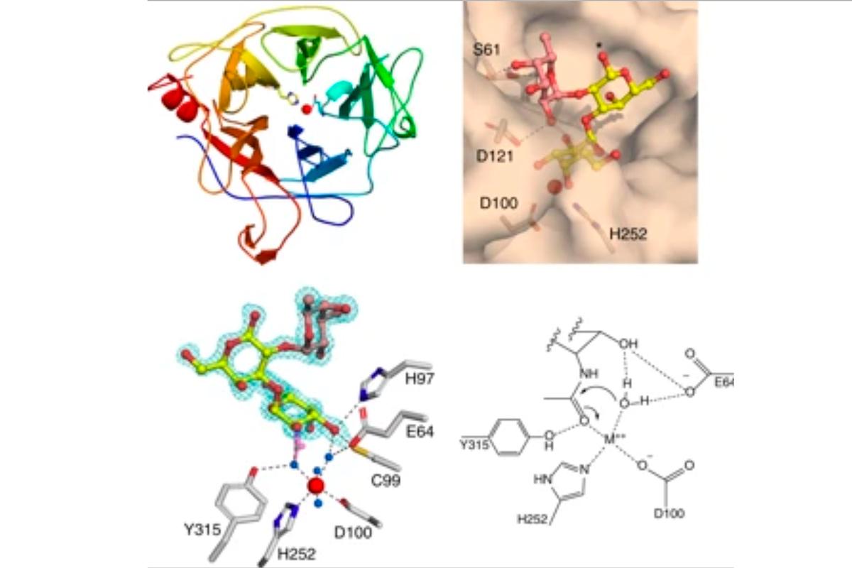 dos-enzimas-de-la-microbiota-humana-convierten-el-tipo-sanguineo-a-en