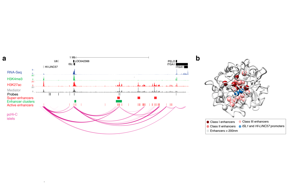 un-mapa-3d-del-genoma-permite-descubrir-mecanismos-geneticos-asociado