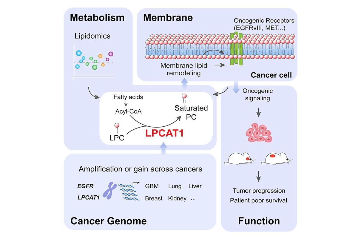el remodelado de la membrana plasmatica es una potencial diana terapeutica en el cancer