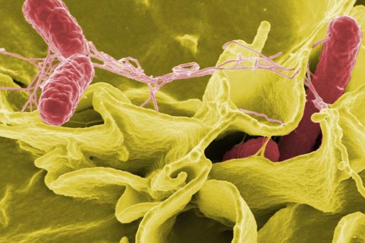 nuevos-hallazgos-permiten-averiguar-rasgos-desconocidos-de-la-virulencia-de-la-salmonella