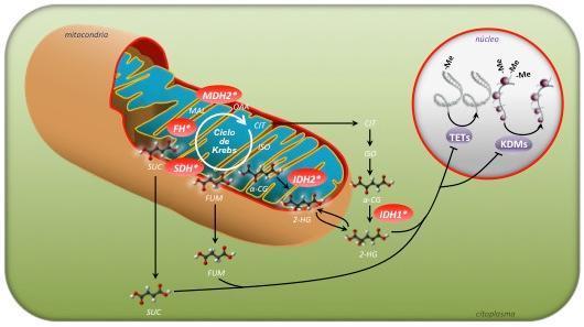 el cnio investiga un nuevo gen relacionado directamente con tumores neuroendocrinos hereditarios
