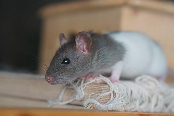 un colorante alimentario de uso comuacuten altera la homeostasis intestinal y sisteacutemica en ratas
