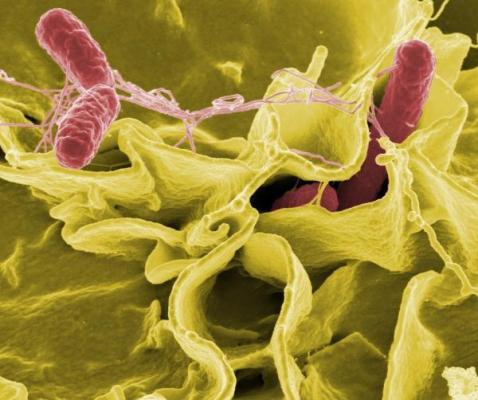 desarrollan una vacuna oral contra la salmonela