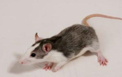 hallan un farmaco para prevenir los efectos daninos de la cocaina en ratas