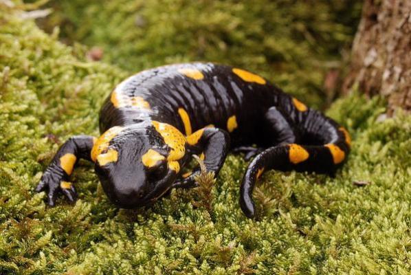 una investigacioacuten con salamandras podriacutea proporcionar nuevas estrategias para la esterilidad