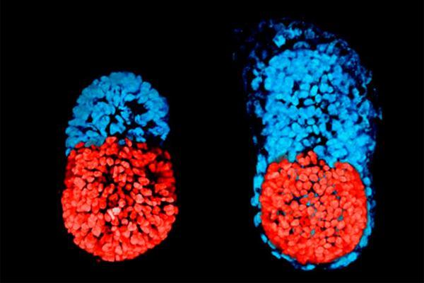 llega el primer embrioacuten artificial de ratoacuten con ceacutelulas madre