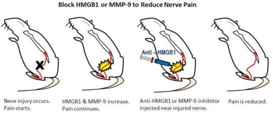 un nuevo objetivo identificado para reducir el dolor