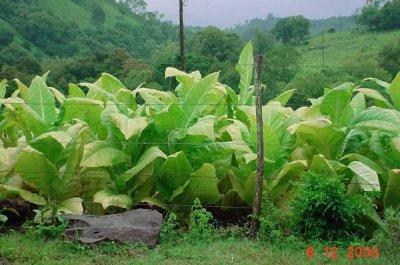 la planta del tabaco para un tratamiento de la hemofilia mas seguro