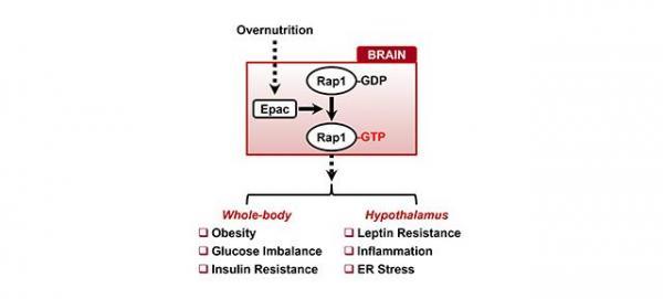 rap1 una nueva potencial diana terapeacuteutica para combatir la obesidad