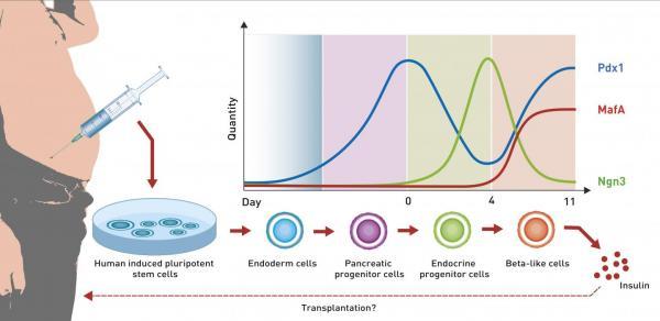 un software geneacutetico reprograma ceacutelulas madre adiposas en ceacutelulas beta pancreaacuteticas